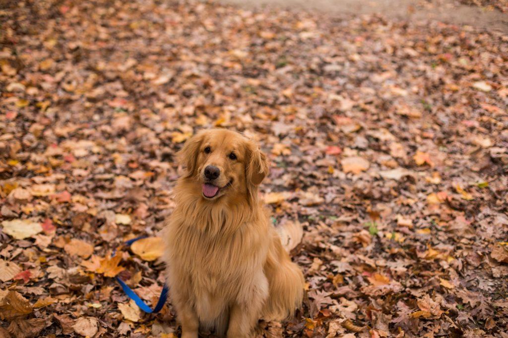 Golden Retriever Autumn Leaves