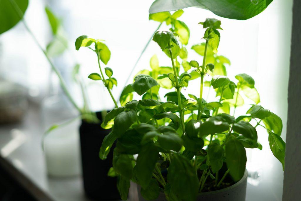 Kitchen plant herb