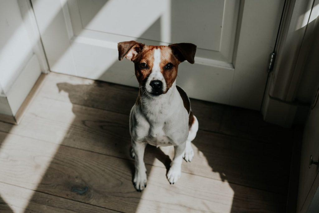Dog sitting at home