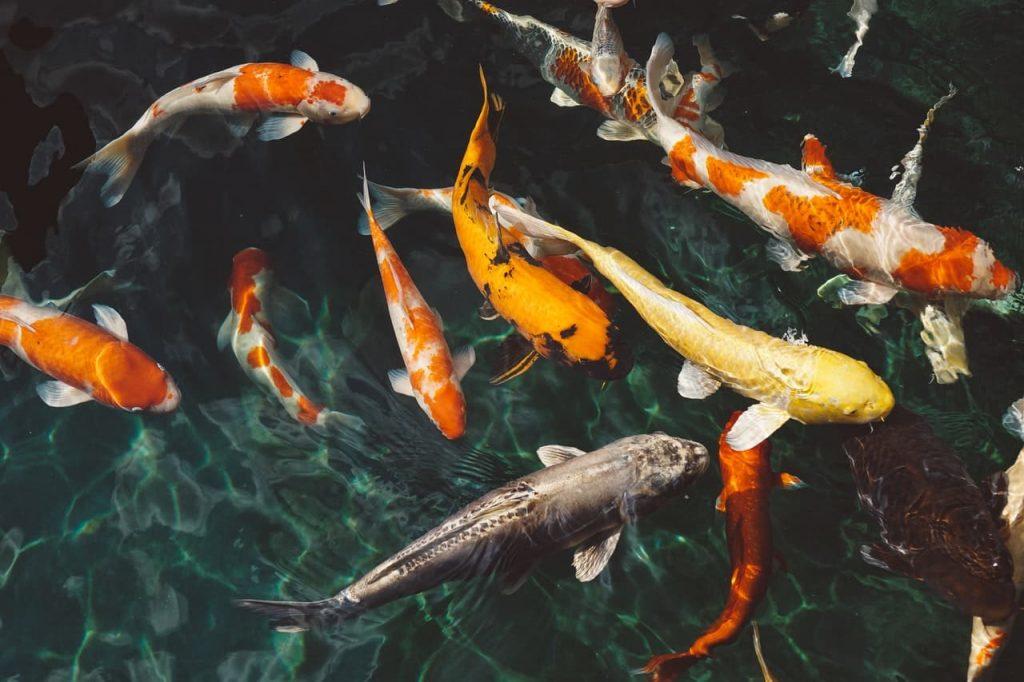 large koi fishes